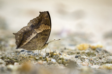 lurcher: Image of a butterfly on nature background. Insect Animal (Lurcher.,Yoma sabina vasuki Doherty) Stock Photo