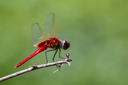 Image of a dragonfly (Macrodiplax cora) on nature background. Insect Animal Stock Photo