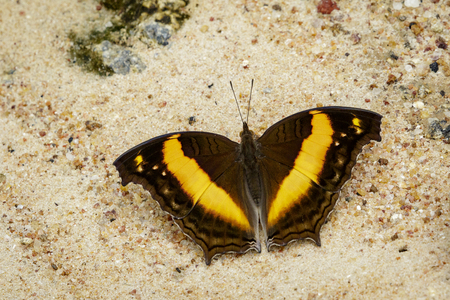 Image of a butterfly on nature background. Insect Animal (Lurcher.,Yoma sabina vasuki Doherty