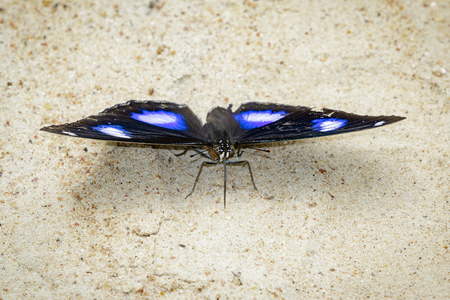nymphalidae: Image of Male Danaid Eggfly Butterfly on nature background. Insect Animal