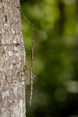 siamensis: Image of a siam giant stick insect on the tree. Insect Animal