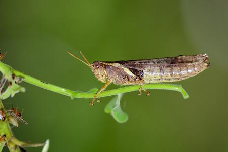 telephone cartoon: Image of rufous-legged grasshopper on nature background. Insect Animal. Stock Photo