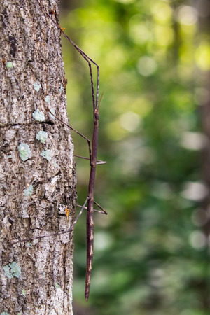 Image of a siam giant stick insect on the tree. Insect Animal