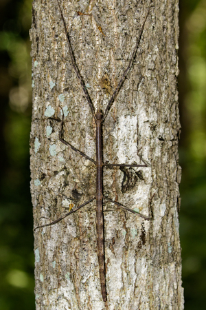 thorax: Image of a siam giant stick insect on the tree. Insect Animal