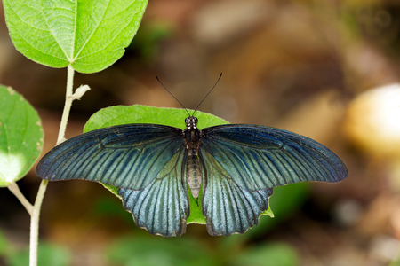 Image of Great Mormon Butterfly(male) on green leaves. Insect Animal. (Papilio memnon agenor Linnaeus,1758) Stock Photo
