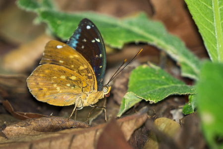 Image of Common Archduke Butterfly(male) (Lexias pardalis dirteana) on nature background. Insect Animal.