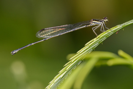 Image of dragonfly (protoneuridae) on green leaves. Insect Animal.