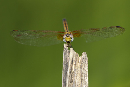 Image of crimson dropwing dragonfly (female)(Trithemis aurora) on nature background. Insect Animal. Stock Photo