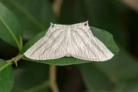 aculeata: Image of Pointed Flatwing Butterfly(Micronia aculeata) on green leaves. Insect Animal