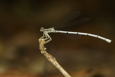 Image of a dragonfly (Amphipterygidae) on nature background. Insect Animal