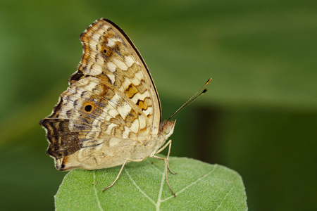nymphalidae: Image of brown butterfly (Satyridae) on green leaves. Insect Animal Stock Photo