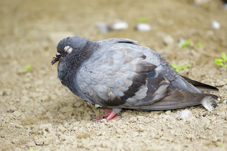 Image of dove standing on the ground. Animal Stock Photo