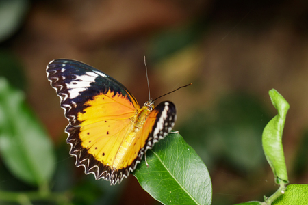 black textured background: Image of a Plain Tiger Butterfly on green leaves. Insect Animal. (Danaus chrysippus chrysippus Linnaeus, 1758)