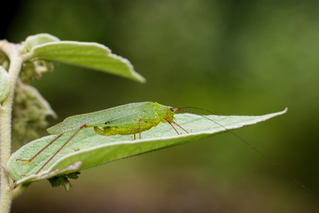 hopper: Image of Green grasshopper on green leaves. Insect Animal