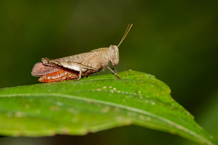 Image of White Shoulder Grasshopper (Apalacris varicornis) on green leaves. Insect Animal
