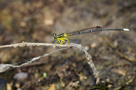 Image of coeliccia poungyi dragonfly (female) on dry branches. Insect Animal Stock Photo