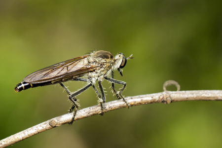 asilidae: Image of an Robber fly(Asilidae) on nature background. Insect Animal Stock Photo