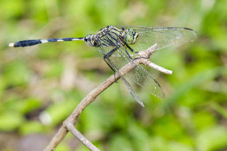 Image of green tiger skimmer dragonfly (Orthetrum sabina ) on nature background. Insect Animal