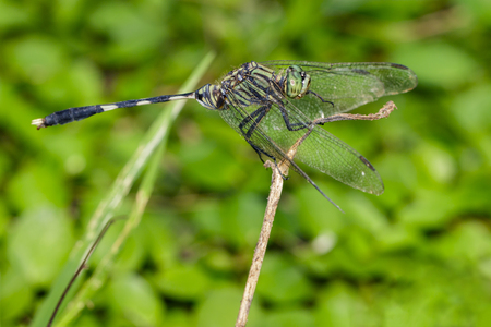 pondhawk: Image of green tiger skimmer dragonfly (Orthetrum sabina ) on nature background. Insect Animal