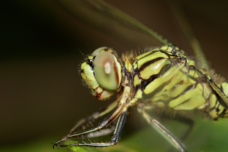 Image of green tiger skimmer dragonfly (Orthetrum sabina ) on green leaves. Insect Animal