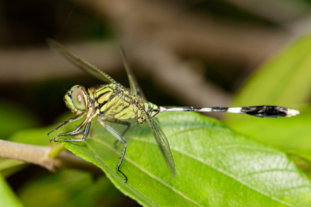 pondhawk: Image of green tiger skimmer dragonfly (Orthetrum sabina ) on green leaves. Insect Animal