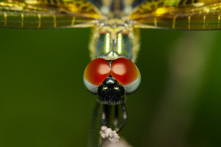 Close-up of dragonfly (Rhyothemis variegata) on nature background. Insect Animal