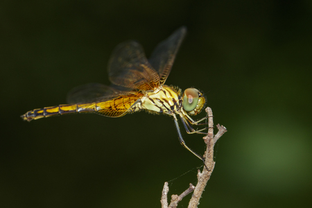 Image of trithemis aurora dragonfly(female) on nature background. Insect Animal Stock Photo