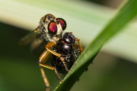 Image of an robber fly eating prey on green leaves. Reptile Animal