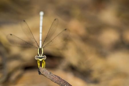 zygoptera: Image of Bragonfly Yellow Feather Legs  Copera marginipes (female) on nature background. Insect Animal Stock Photo