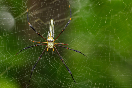dragline: Image of Spider Nephila Maculata, Gaint Long-jawed Orb-weaver (female) in the net. Insect Animal