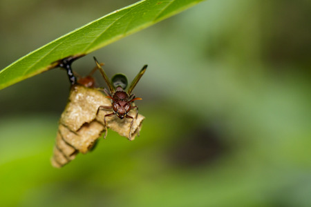 Image of  Common Paper Wasp  Ropalidia fasciata and wasp nest on nature background. Insect Animal
