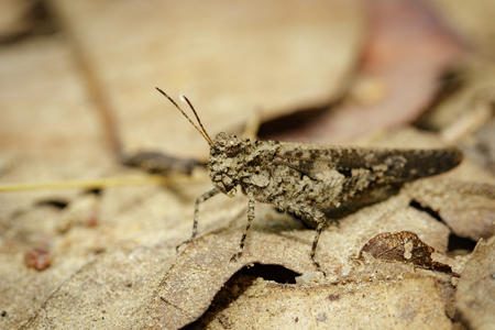 Image of brown grasshopper on dry leaves. Insect Animal. Caelifera., Acrididae. Stock Photo