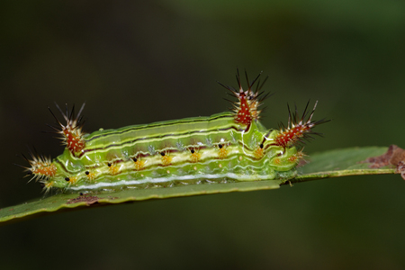 babosa: Image of a wattle cup caterpillar on nature background. Insect Animal