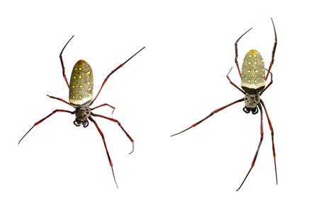 golden orb weaver: Image of batik golden web spider  Nephila antipodiana on white background. Insect Animal