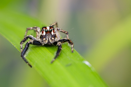 Image of Jumping spiders(Plexippus paykulli.,male) on green leaves. Insect Animal Stock Photo