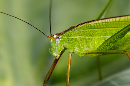 Image of grasshopper (Small Green Leaf Katydid.,Orthelimaea leeuwenii) on green leaves. Insect Animal