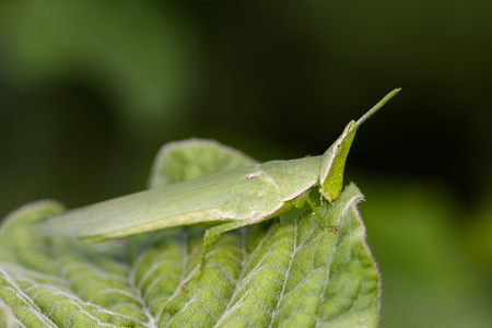 beautiful rare: Image of Slant-faced or Gaudy grasshopper on nature background. Insect Animal