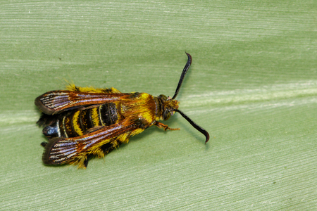 Image of a Hornet moth (Sesia apiformis) female on green leaves. Insect Animal Stock Photo