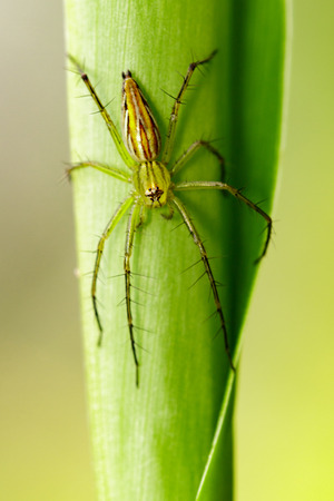 the lynx: Image of Oxyopidae Spider (Java Lynx Spider  Oxyopes cf. Javanus) on nature background. Insect Animal