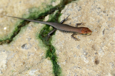 Image of a common garden skink (Scincidae) on the floor. Reptile Animal