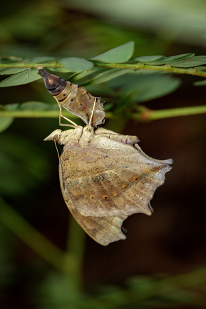 Image of a butterfly and pupa on nature background. Insect Animal (Lurcher.,Yoma sabina vasuki Doherty) Stock Photo