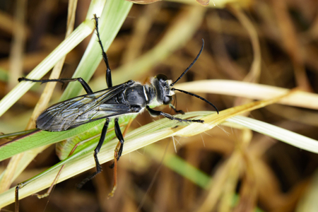 Image of Great Black Wasp (Sphex pensylvanicus) going to eat grasshopper. Insect Animal