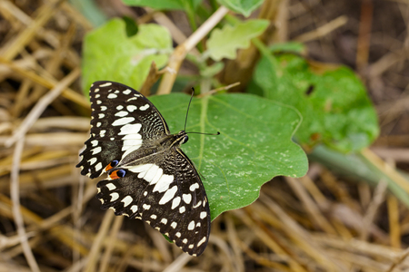 papilio demoleus: Image of The Lime Butterfly on green leaves. Insect Animal (Papilio demoleus malayanus Wallace, 1865)