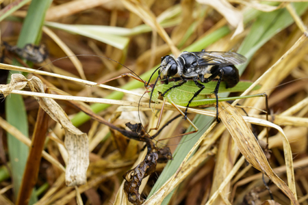great danger: Image of Great Black Wasp (Sphex pensylvanicus) going to eat grasshopper. Insect Animal