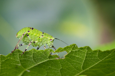 Image of Katydid Nymph Grasshoppers (Tettigoniidae) on green leaves. Insect Animal