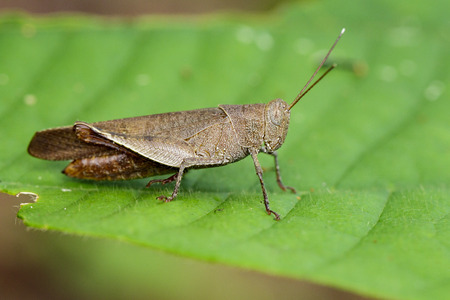 Image of Brown Short-horned Grasshoppers(Acrididae)on green leaves. Insect Animal.