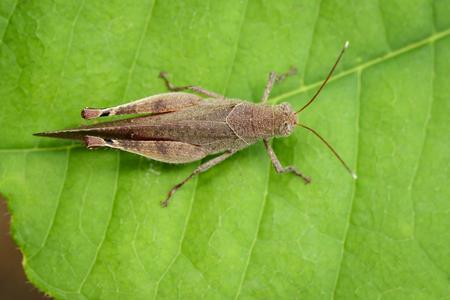 緑の葉に茶色の短い角を持つバッタ (蝗) のイメージ。昆虫動物。