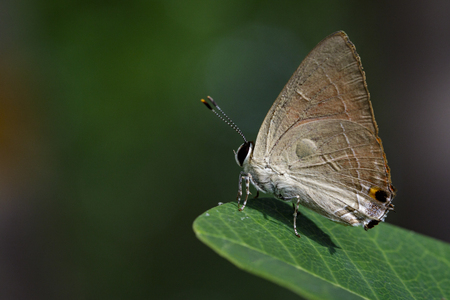 gray: Image of common red flash butterfly (Rapala iarbus iarbus Fabricius, 1787) on green leaves. Insect Animal