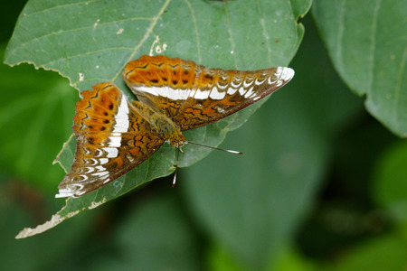 Image of The Knight butterfly (Lebadea martha Fabricius, 1787) on green leaves. Insect Animal