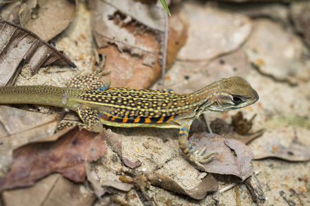 Image of butterfly agama lizard (Leiolepis Cuvier) on dry leaves. Reptile Animal.